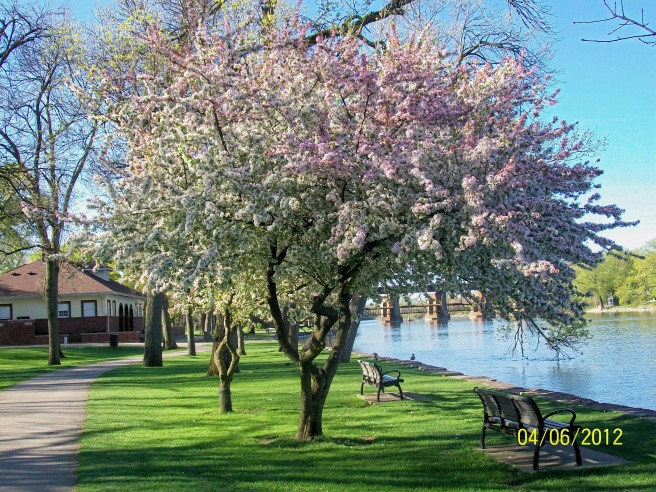 Island Park-Tree in Bloom